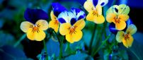 Beautiful blue and yellow pansies - Spring flowers