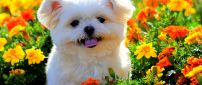 A white puppy with fluffy fur between orange flowers
