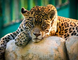 A beautiful Jaguar resting on the stones