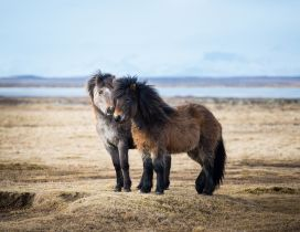 Two sweet icelandic ponies - Horses wallpaper