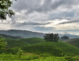 Green tea garden obscured by gray clouds