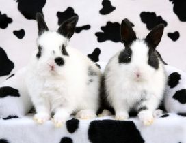 White and black rabbits - Spotted rabbits