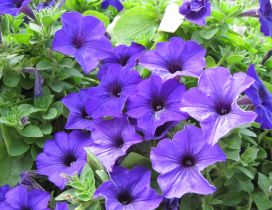 Many purple petunia - Flowers HD wallpaper