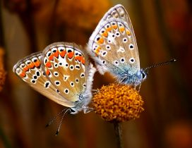 Two beautiful butterflies with black stains on a flower