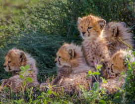 Many sweet cheetahs cubs - Wild Animals wallpaper