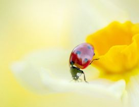 A red ladybird on a yellow daffodil - HD image
