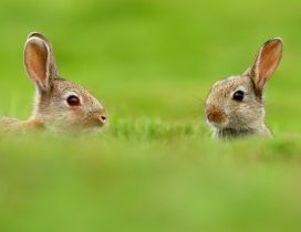 Two rabbits in the big green grass
