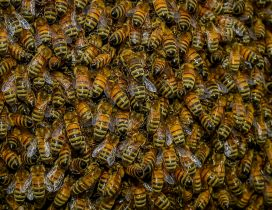 A swarm of bees - HD insects wallpaper