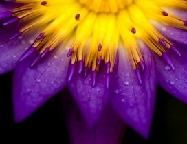 Yellow and purple petals of flower - Bright flower
