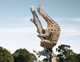 A giraffe is climbing on a tree trunk
