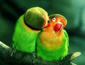 Two lovers - beautiful colored parrots