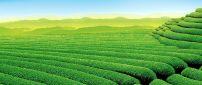 Garden tea - Striped green garden