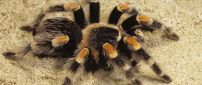Black and yellow spider on the sand - Tarantula wallpaper