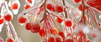 Frozen red fruits in the trees - HD wallpaper