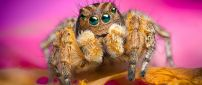 A brown spider - HD insect wallpaper