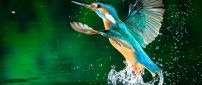 A blue Kingfisher bird fly near water
