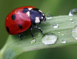 A cute red ladybug on a leaf with drops water