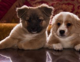 Two cute brown and white puppies