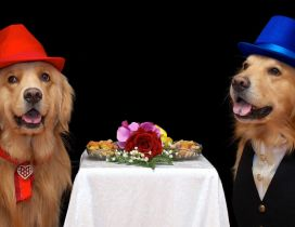 Funny brown dogs couple with hats