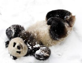 Cute baby panda bear in snow - White and black image