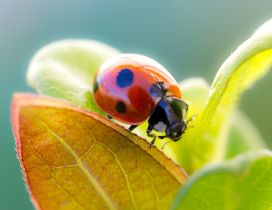 Cute red ladybug on green leaves