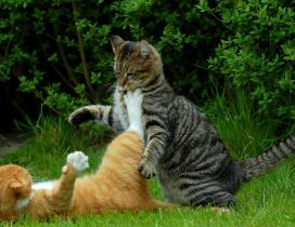Fight between two cats in grass - Animals wallpaper
