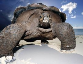 Huge turtle on the beach - Fantastic wallpaper