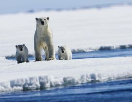 Polar bear with two puppies on ice
