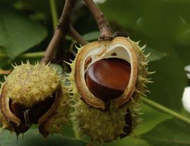 Chestnuts on a tree branch - HD wallpaper