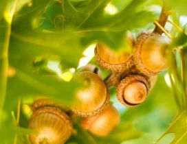 Many acorns between the green leaves