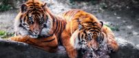 Two beautiful tigers on a big stone - Wild animals