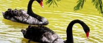 Two black swans on the lake water