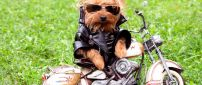 Cool dog style on the motorcycle - Funny brown puppy