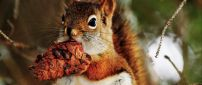 A cute brown squirrel with a pinecone