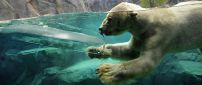 A polar bear swimming in water between rocks
