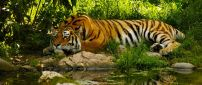 An amazing tiger sleeps on the shore of river