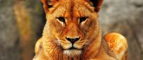 Seriously lion female - Wild animal wallpaper