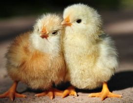 Two cute little chickens - Animals wallpaper