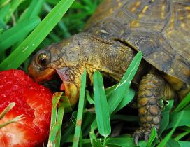 A turtle eat a strawberry in the green grass