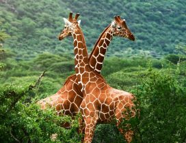 Two giraffes in a green forest on mountains