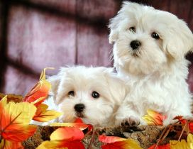 Two beautiful white Bichon Frize - Sweet dogs