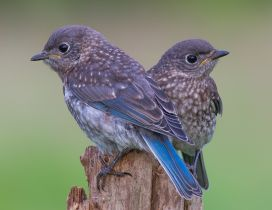 Two beautiful little birds with blue wings