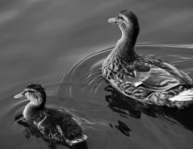 Ducks swims on lake - Black and white wallpaper