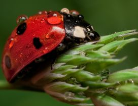 A red ladybug with many water drops on a flower