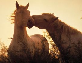Two stunning white horses in sunlight