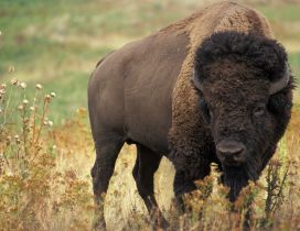 Black American Bison - Animal wallpaper
