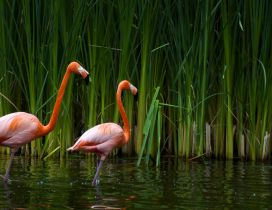 A pair of flamingos in water - Orange birds