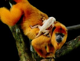 Monkeys play through tree branches - Animals wallpaper