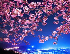 Pink flowers on branches - Cherry blossom
