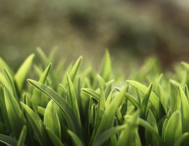 Green grass in field - Macro HD wallpaper